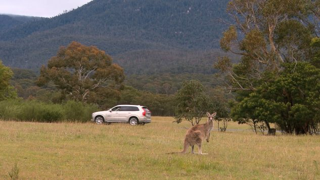 Volvo Cars begins first-ever Australian tests for kangaroo safety research